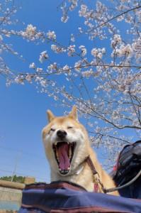 未来桜2012